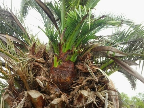 growing palm trees after treatment