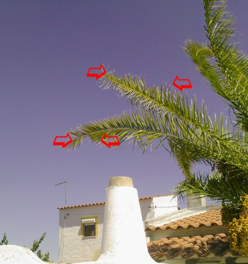 signs of infestation by the red palm weevil in the algarve