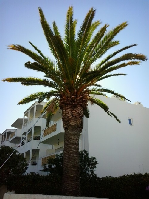 infested palm trees in the algarve
